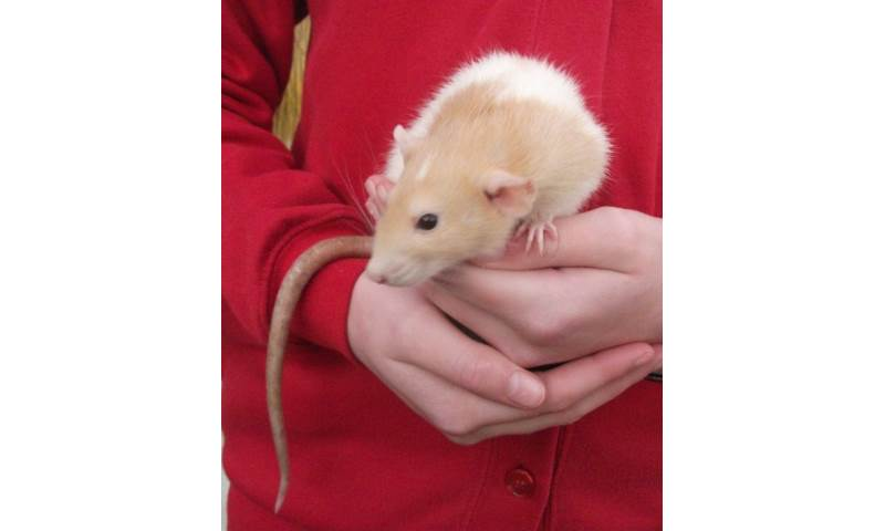 Sandy the pet rat, always a favourite with children and most adults once they get used to the idea.