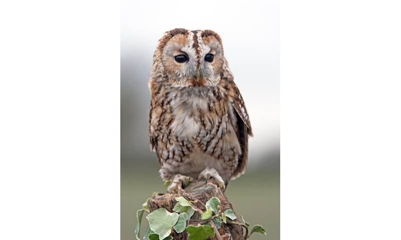 Willow the Tawny Owl