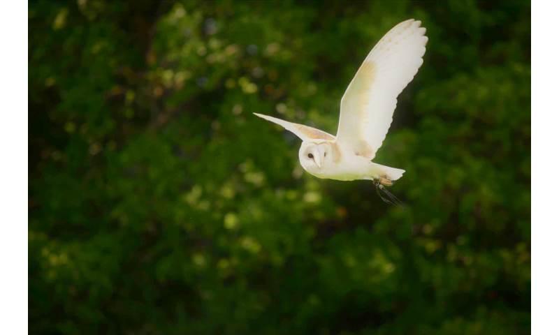 Star the Barn Owl