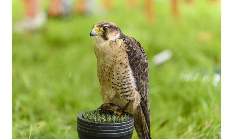 Hermes the Falcon