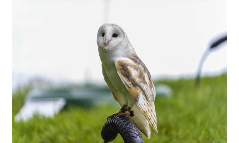Sky the Barn Owl