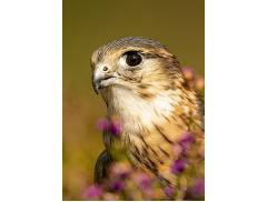 Kintail Birds of Prey Argyll Logo